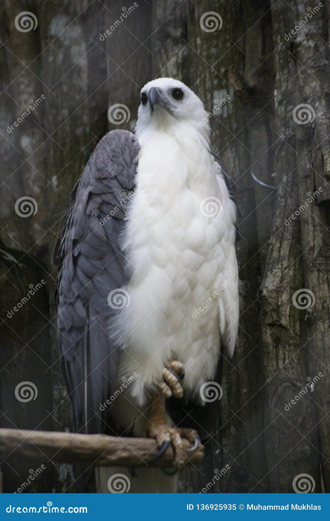 Biały klatka piersiowa orzeł