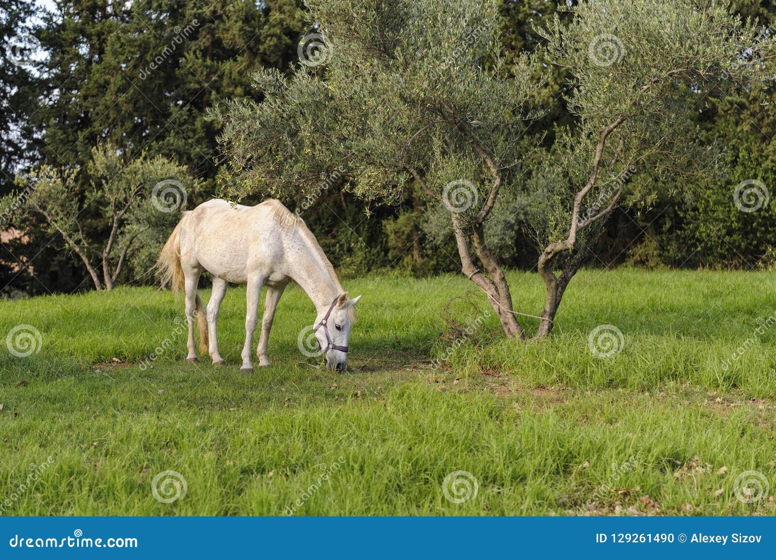 Biały koń pasa blisko drzewa oliwnego