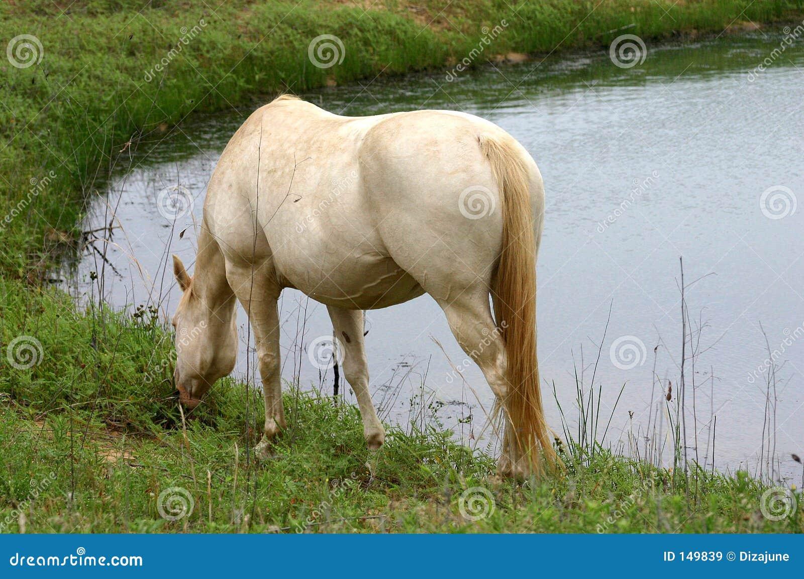 Biały koń stawowy