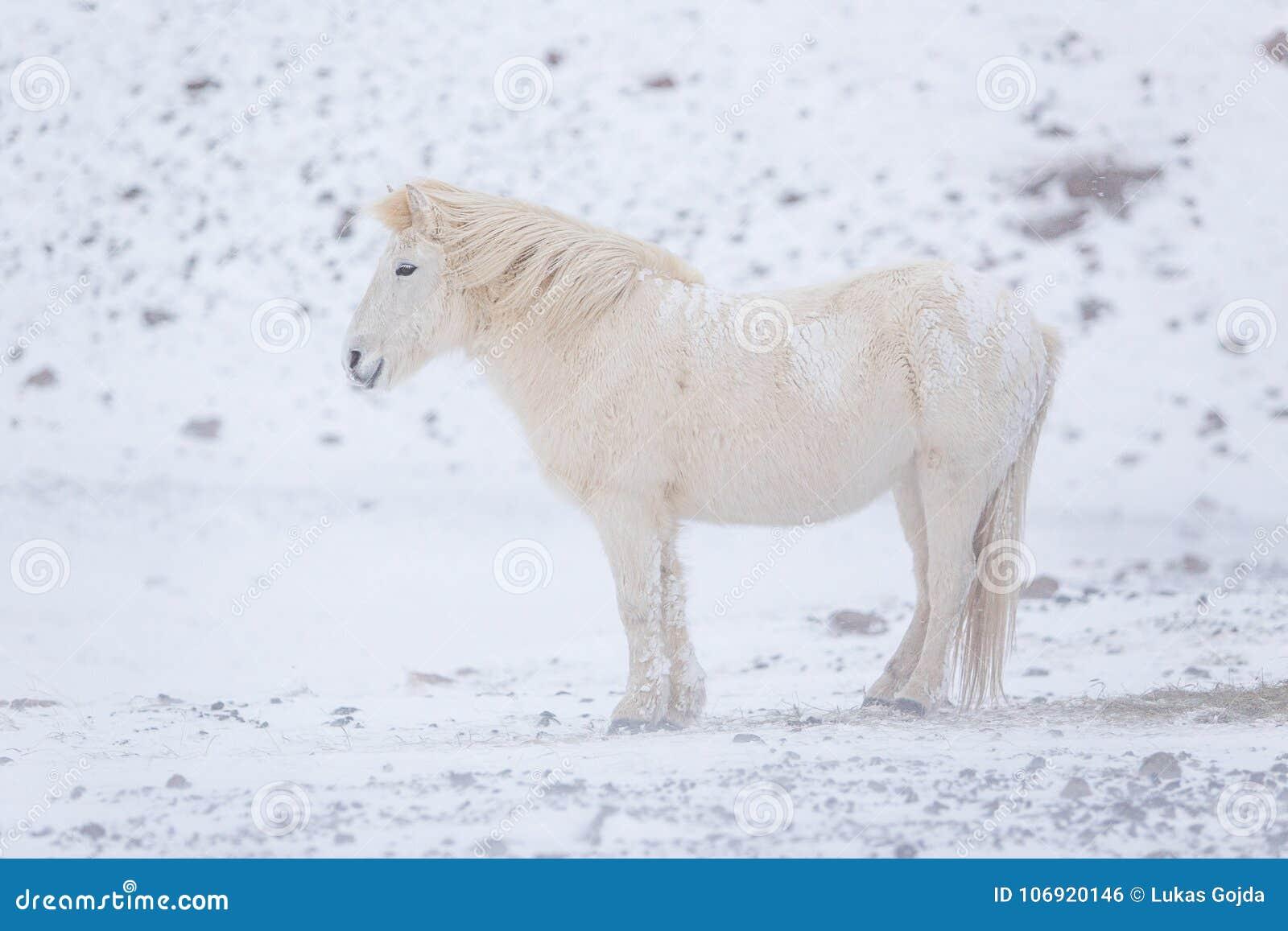 Biały koń zostaje podczas śnieżnego zima dnia w Iceland