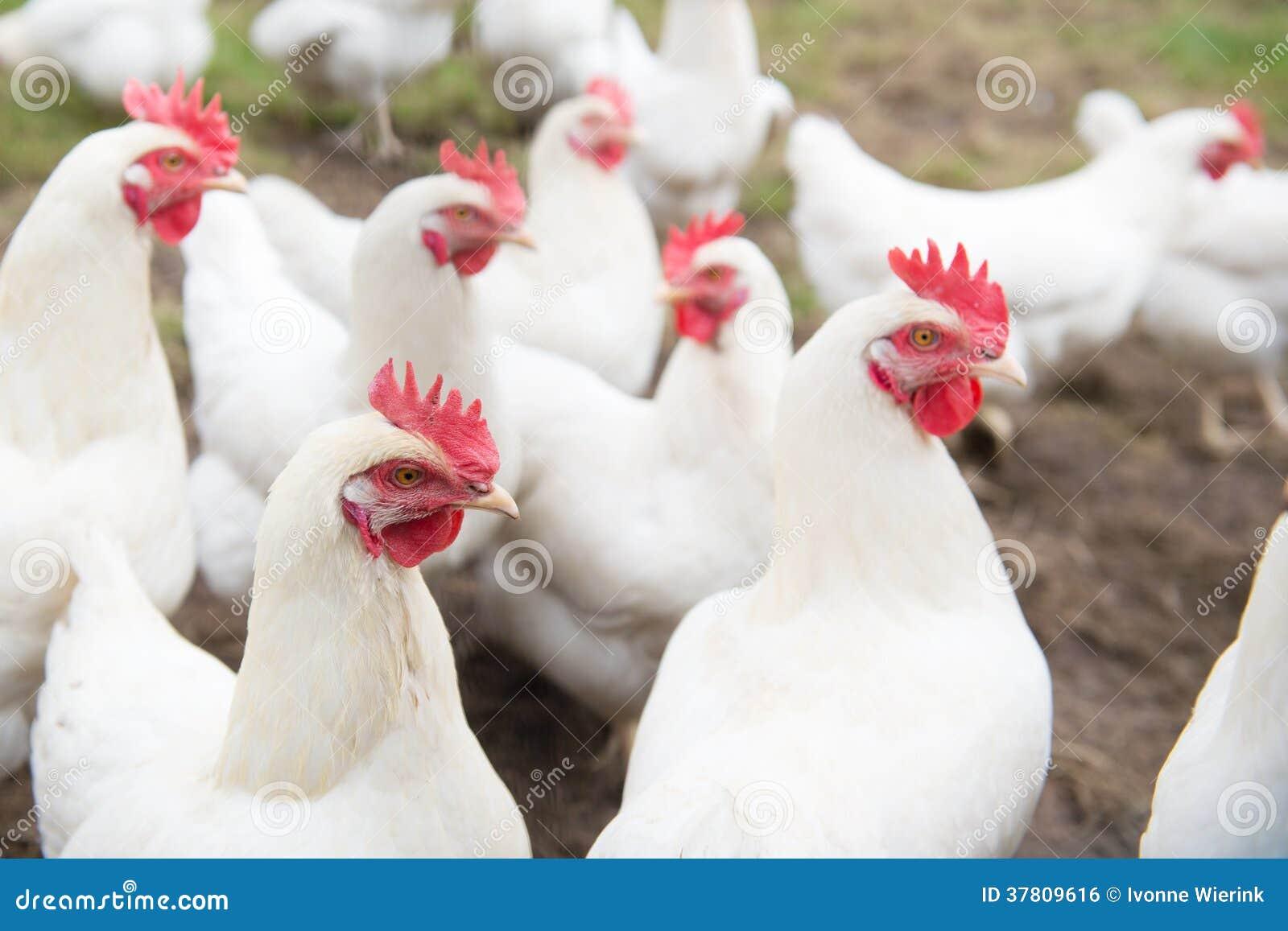 Biały kurczak