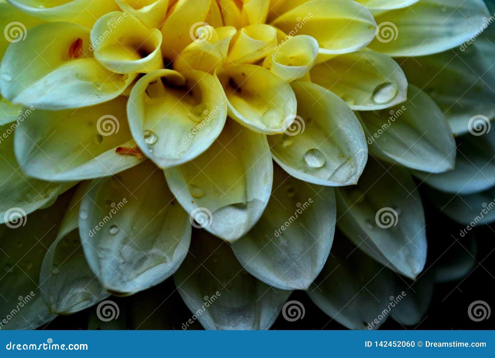 Biały kwiat w makro- z wodnymi kroplami