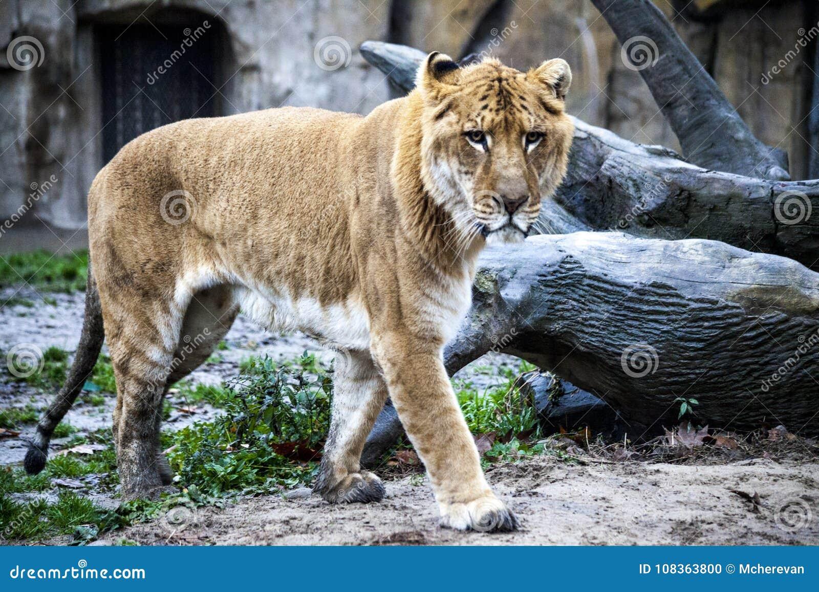 Biały liger dla spaceru w zoo wolierze Ligr Hybryd lew i tygrys Wielki męski ligra