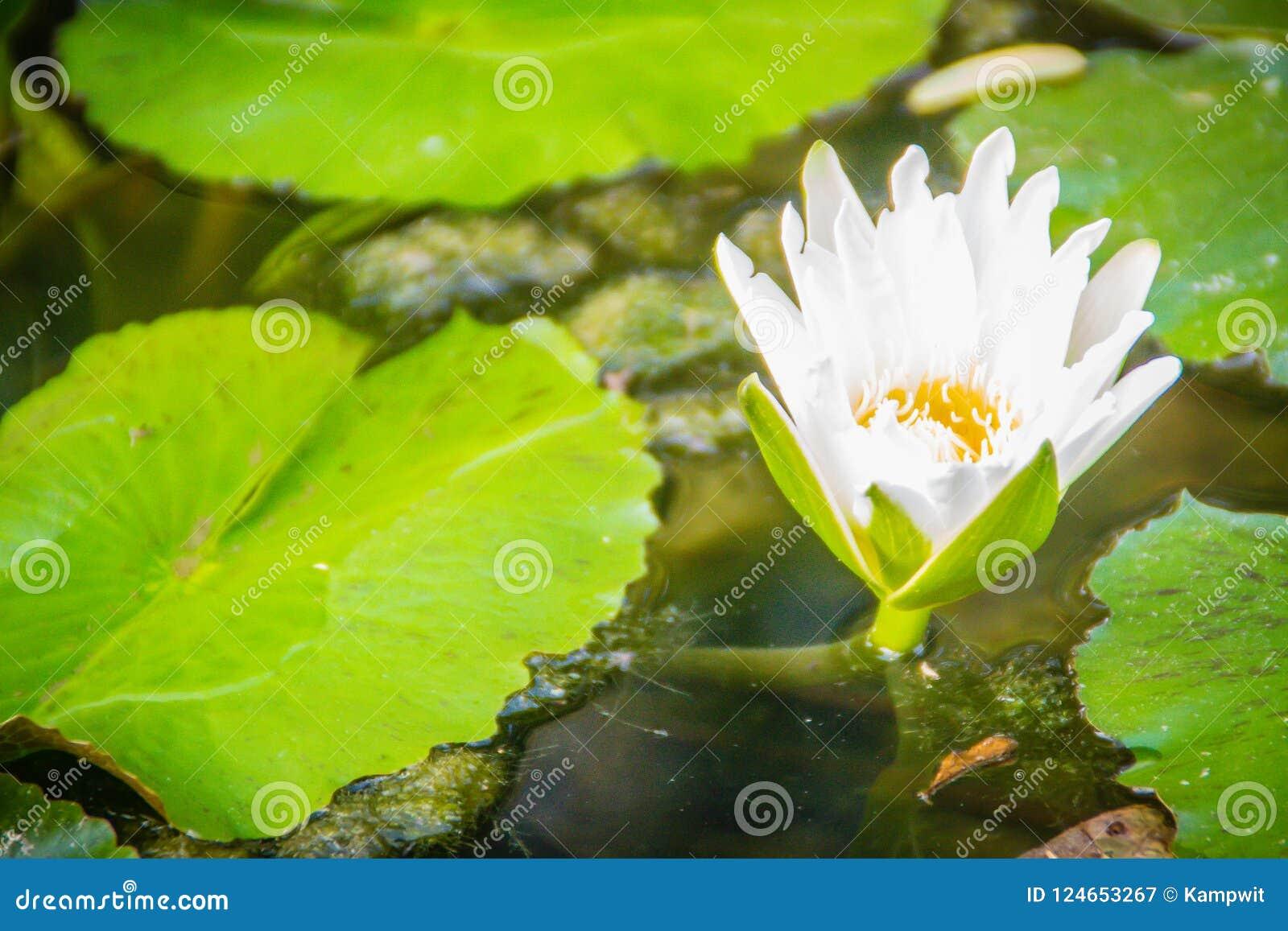 Biały lotos z żółtym pollen z zielenią opuszcza tło Kwiat biała wodna leluja kwitnie z żółtym pollen w stawie