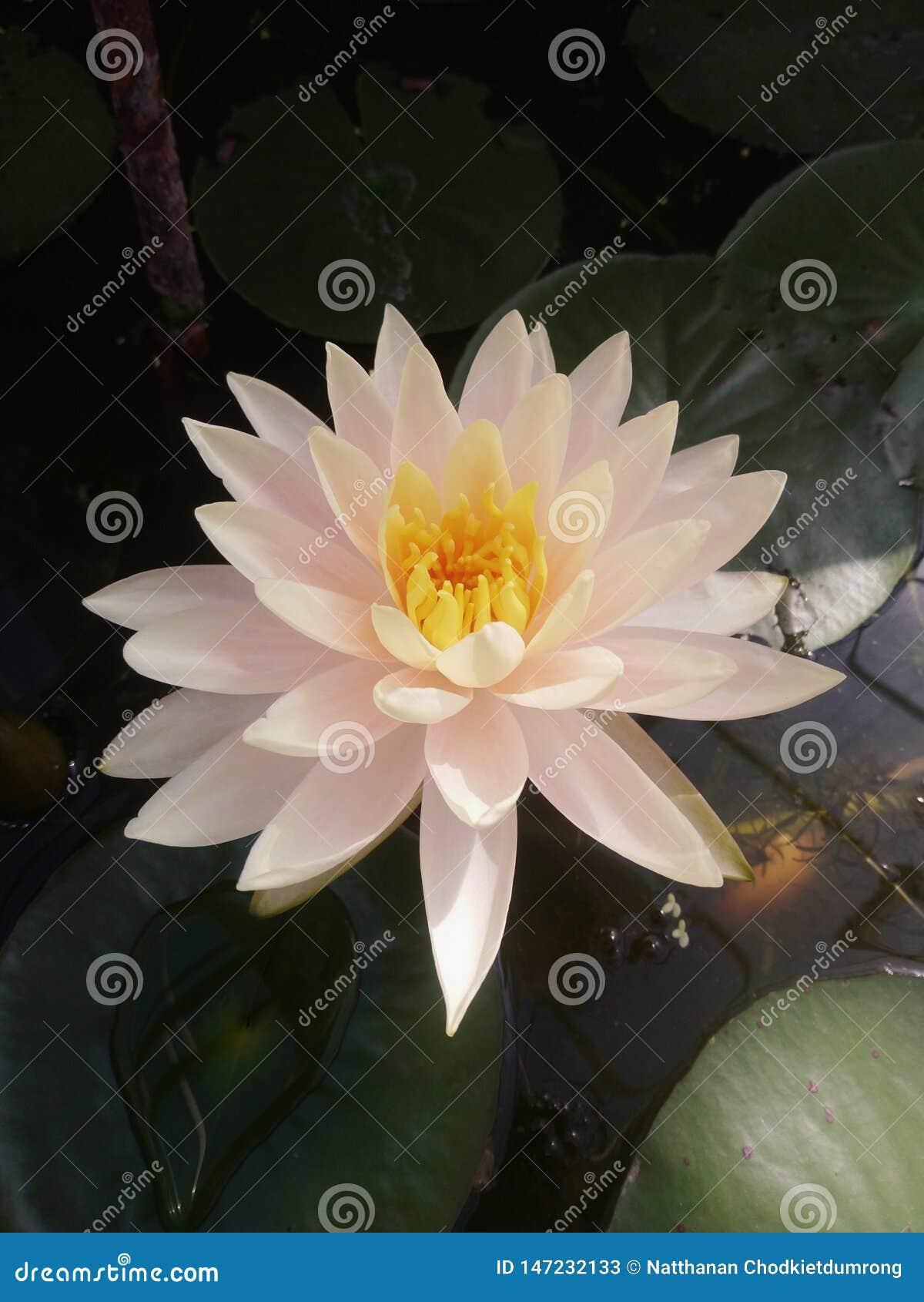 Biały lotosowy kwiat w górę