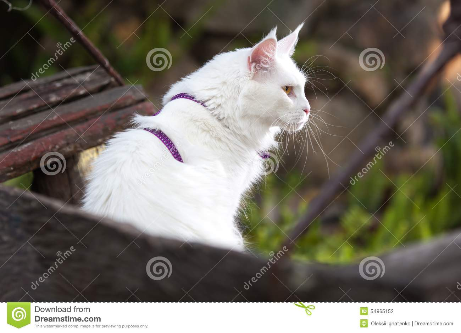 Biały Maine Coon Kot Na ławce Zdjęcie Stock Obraz Złożonej Z
