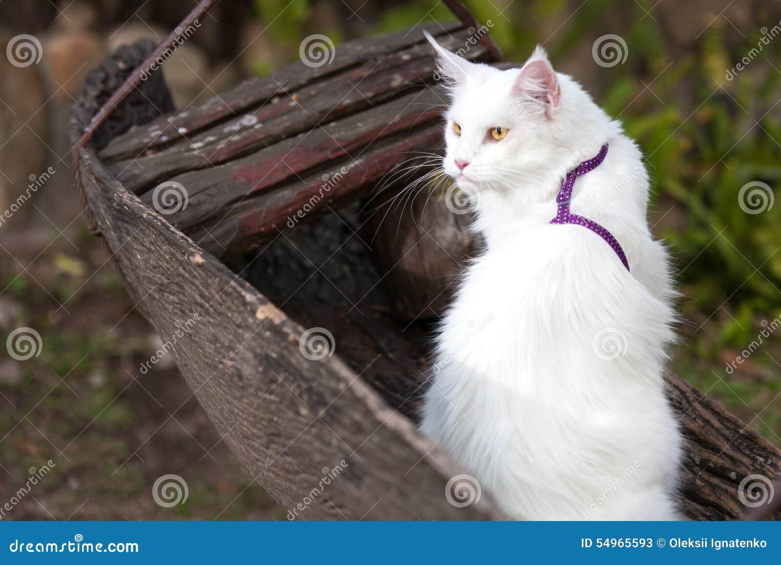 Biały Maine Coon Kot Na ławce Obraz Stock Obraz Złożonej Z Leisure