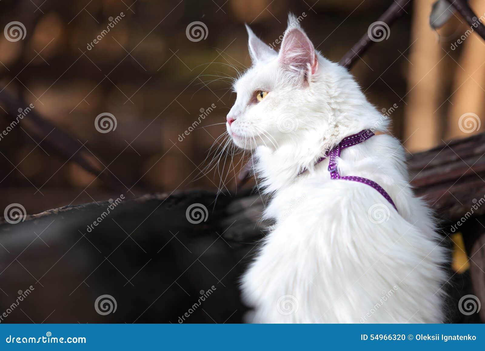 Biały Maine Coon Kot Na ławce Zdjęcie Stock Obraz Złożonej Z Trawy