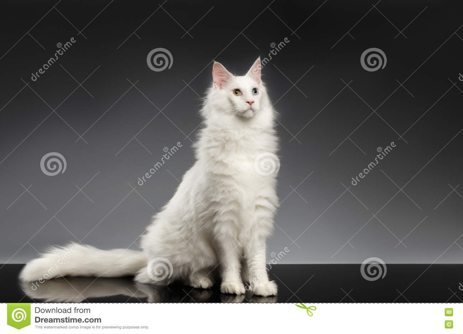 Biały Maine Coon Kot Siedzi Z Różnymi Oczami Czarny Tło Zdjęcie