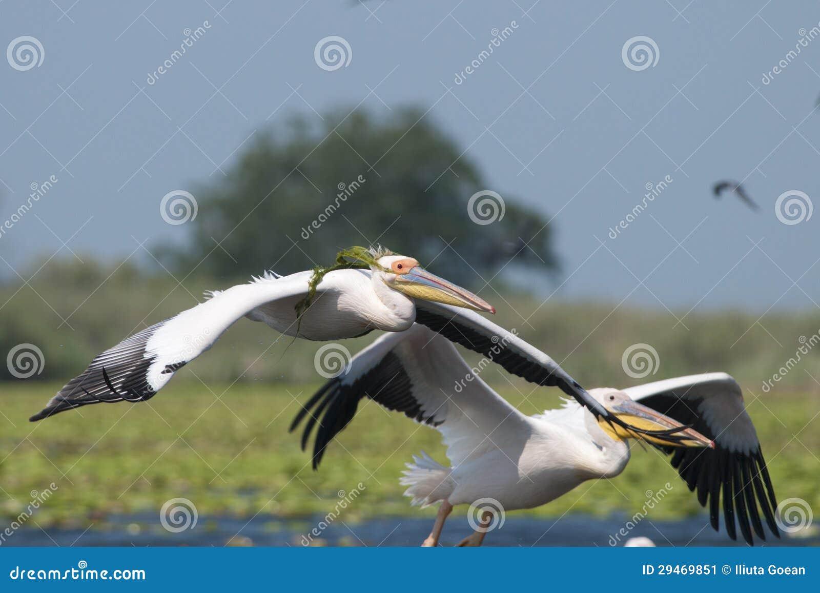Biały pelikan