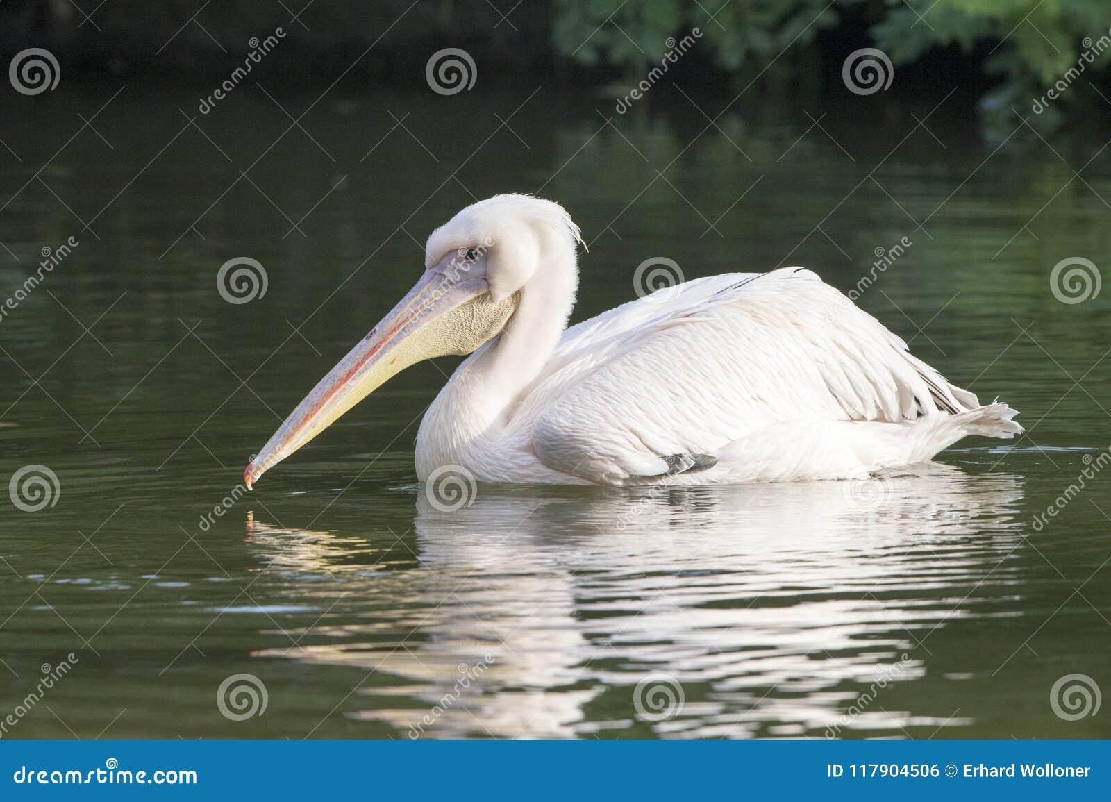 Biały pelikan w jeziorze