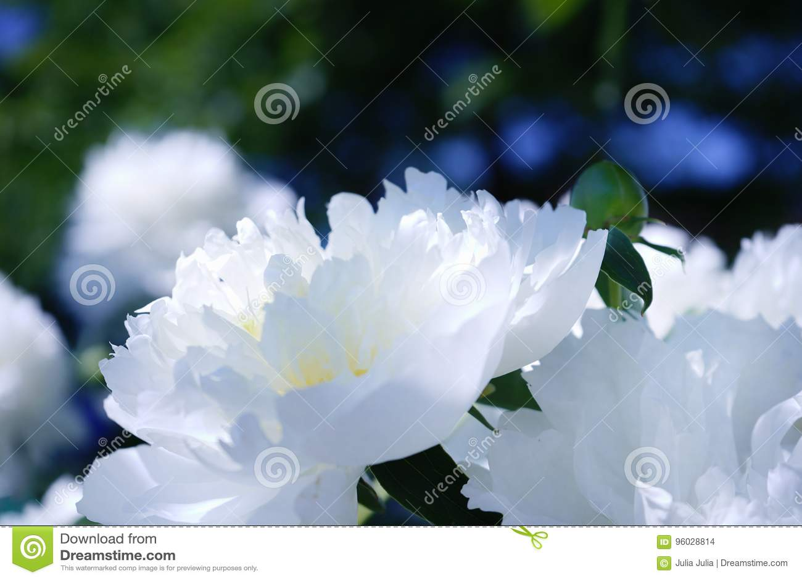 Biały peoni zakończenia dzień w ogrodowej natury cienia pięknym świetle