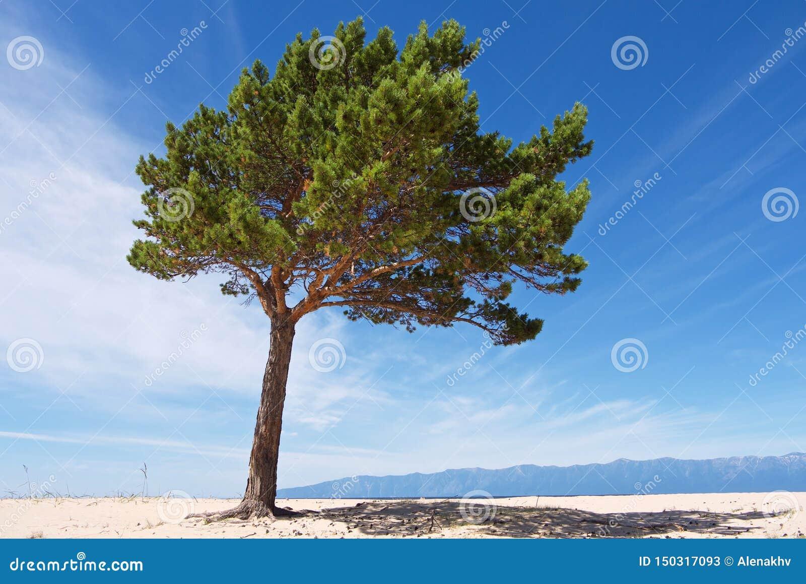 Biały piaskowaty lakeshore krajobraz z osamotnioną zieloną sosną