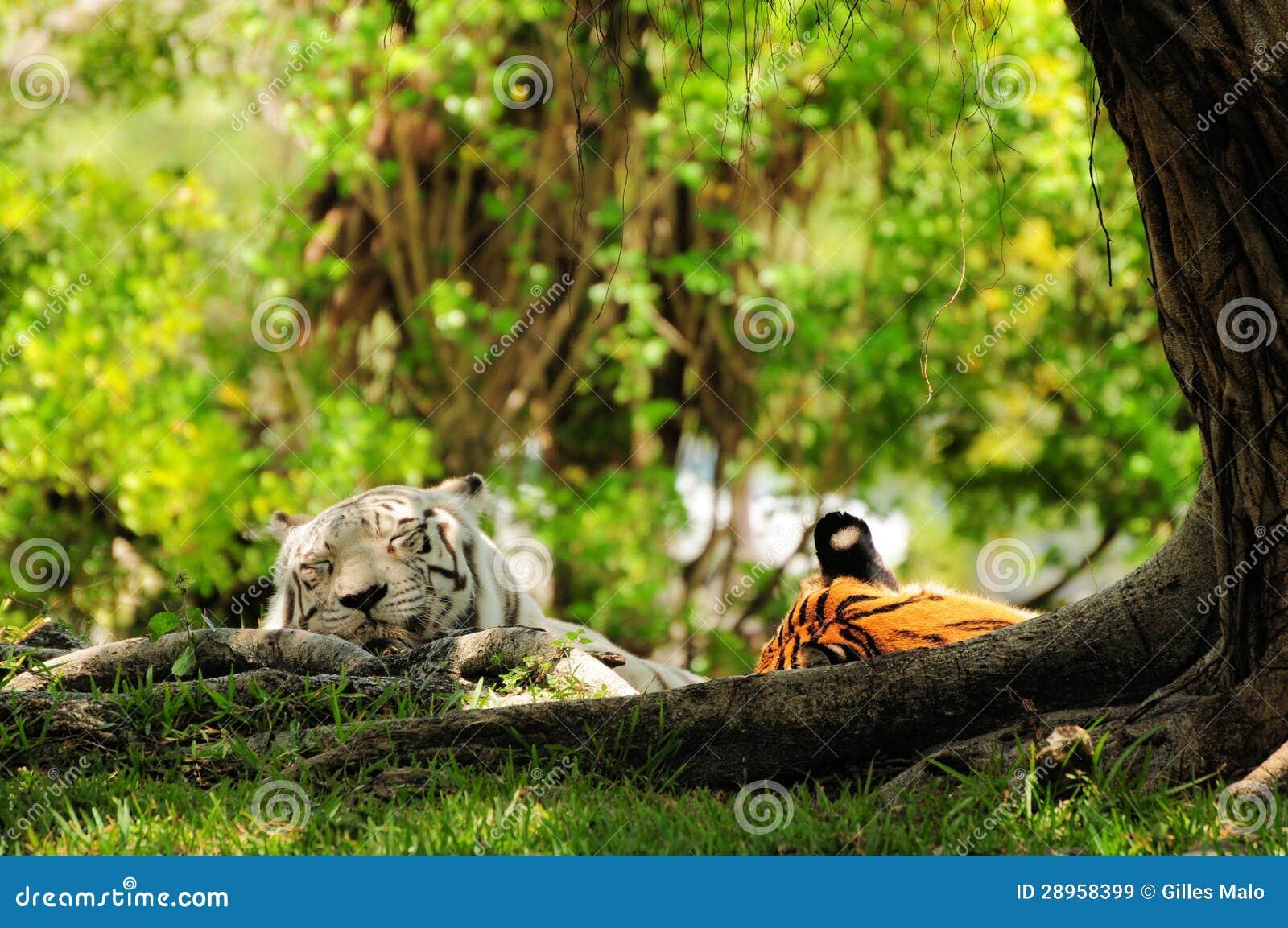 Biały & pomarańczowy tygrysów spać