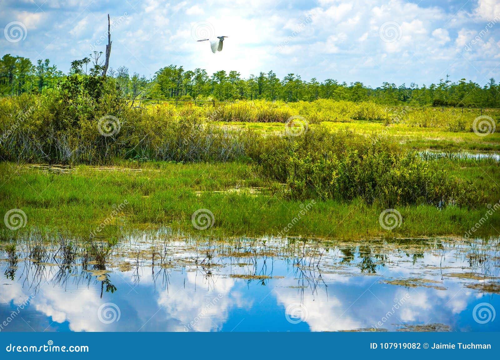 Biały ptasi latanie w bagnie