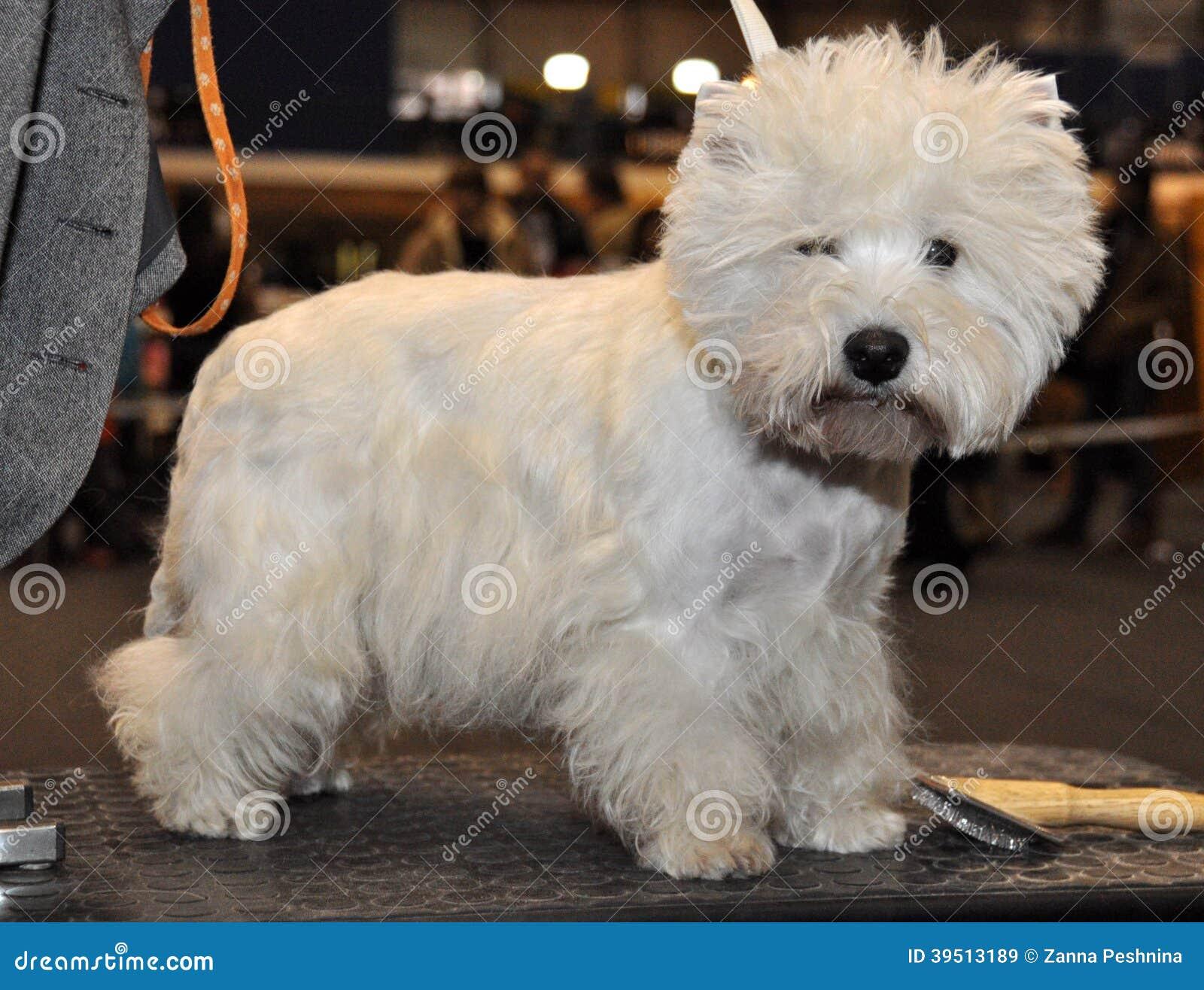Biały puszysty psi Bichon Frise