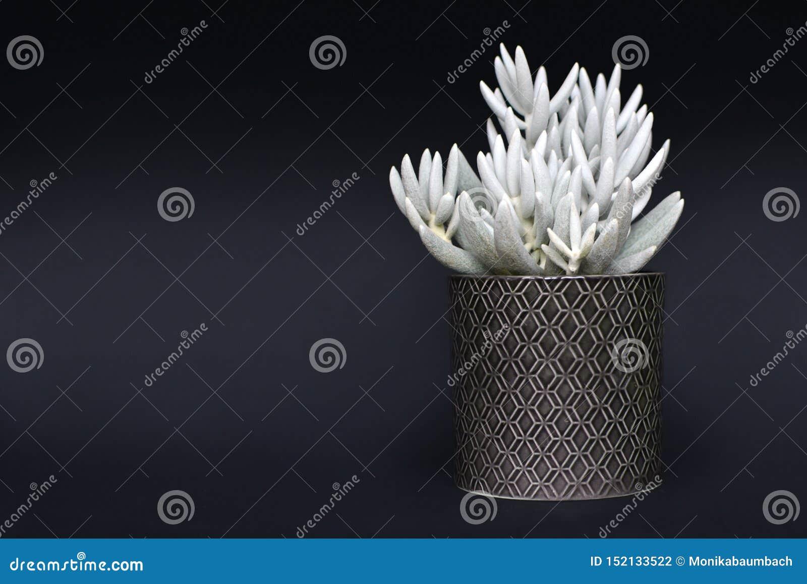 Biały Senecio Haworthii sukulent puszkował rośliny na ciemnym tle