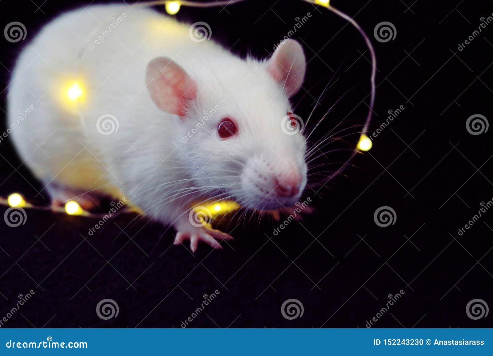 Biały szczur na czarnym tle z girlandą