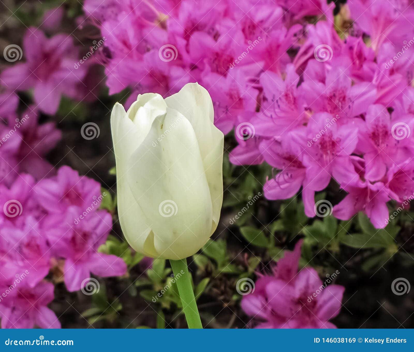 Biały tulipan z Purpurowymi azaliami