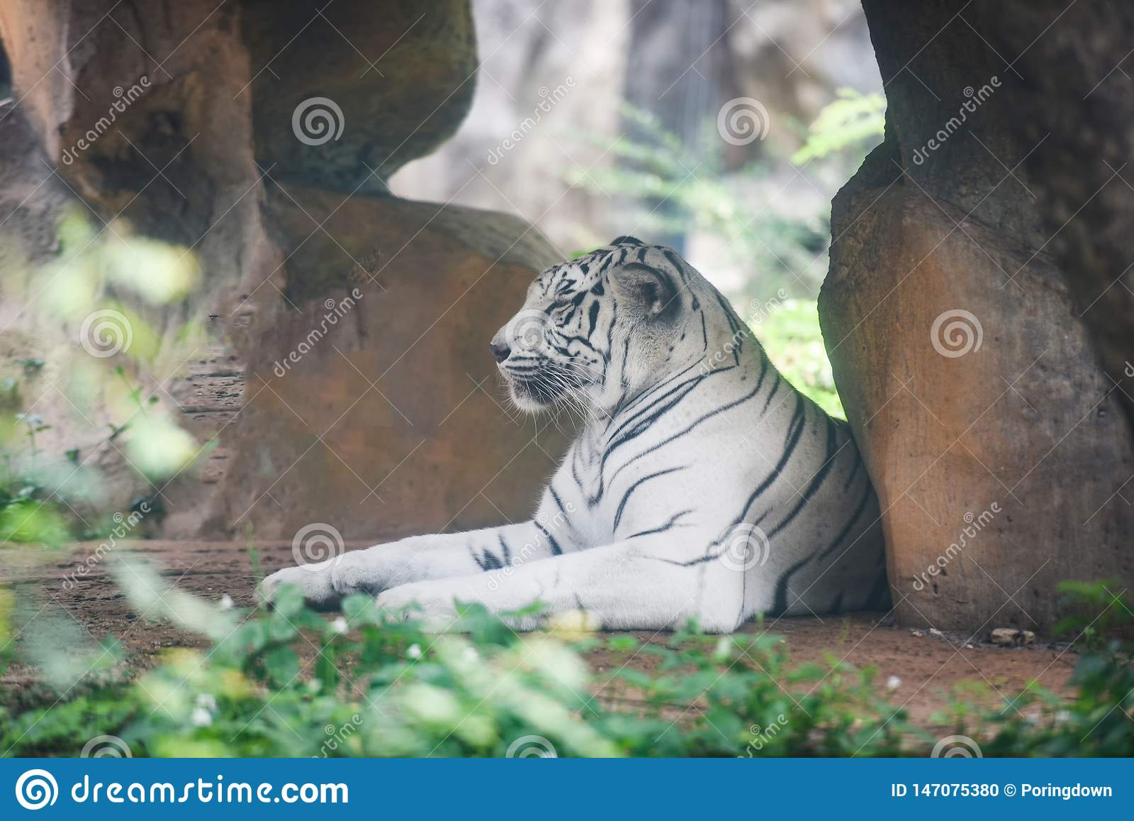 Bia?y Tygrysi lying on the beach na ziemi w rolnym zoo przy parka narodowego, Bengalia tygrysem/