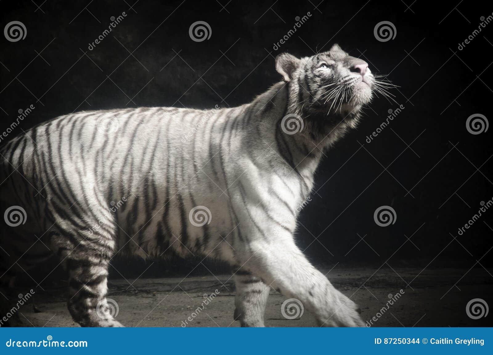 Biały Tygrysi Panthera Tygrys Tygrys Gapi się Up