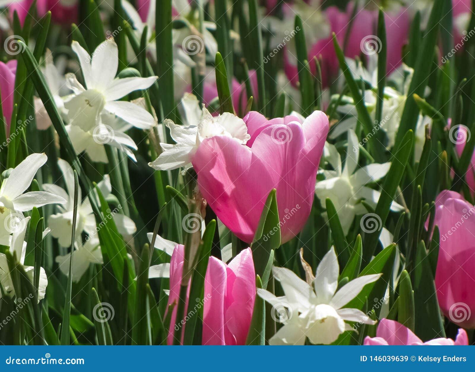 Białych Daffodils Makro- Różowy tulipan