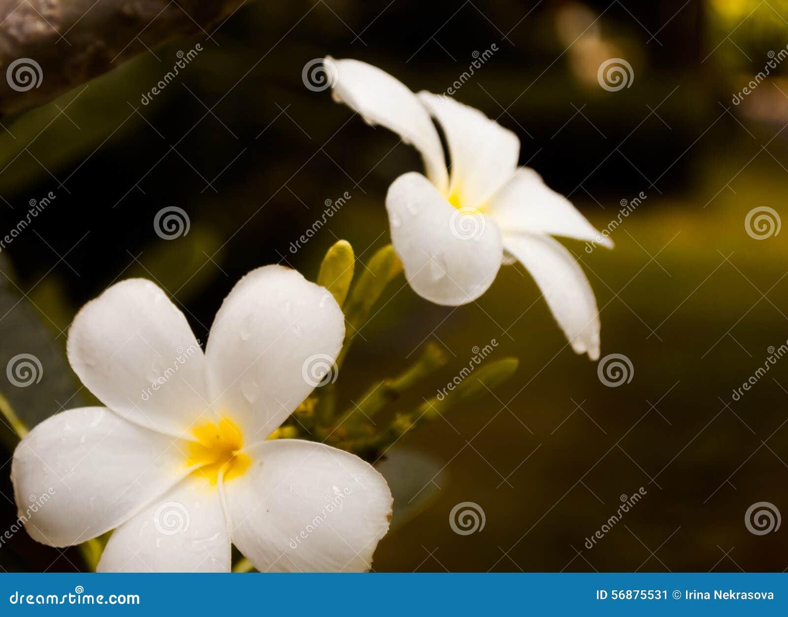 Białych kwiatów plumeria z deszcz kroplą