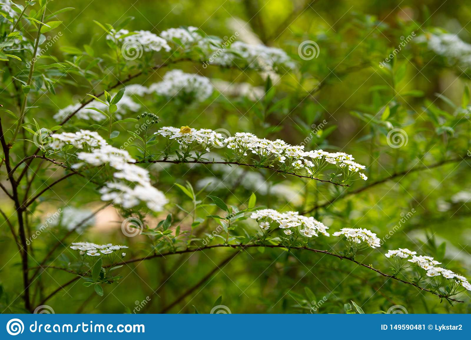 Białych kwiatów spirea gałąź dla Tapetowego projekta t?o szczeg Bia?y t?o projekt Kwiat dekoracje ?wi?teczny