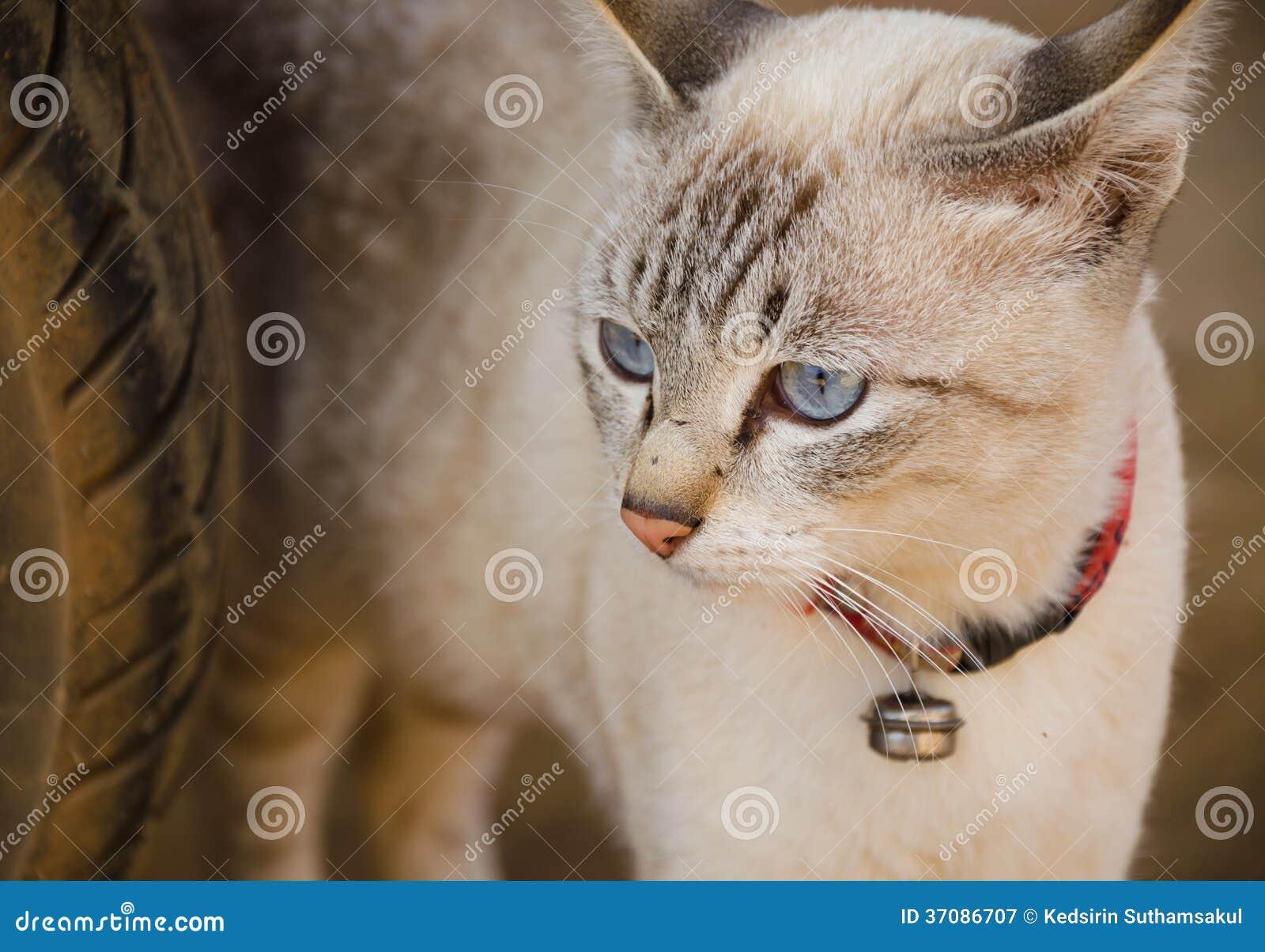 Download Biały Kot Z Niebieskimi Oczami, Tajlandzki Kot Obraz Stock - Obraz złożonej z koty, futerko: 37086707