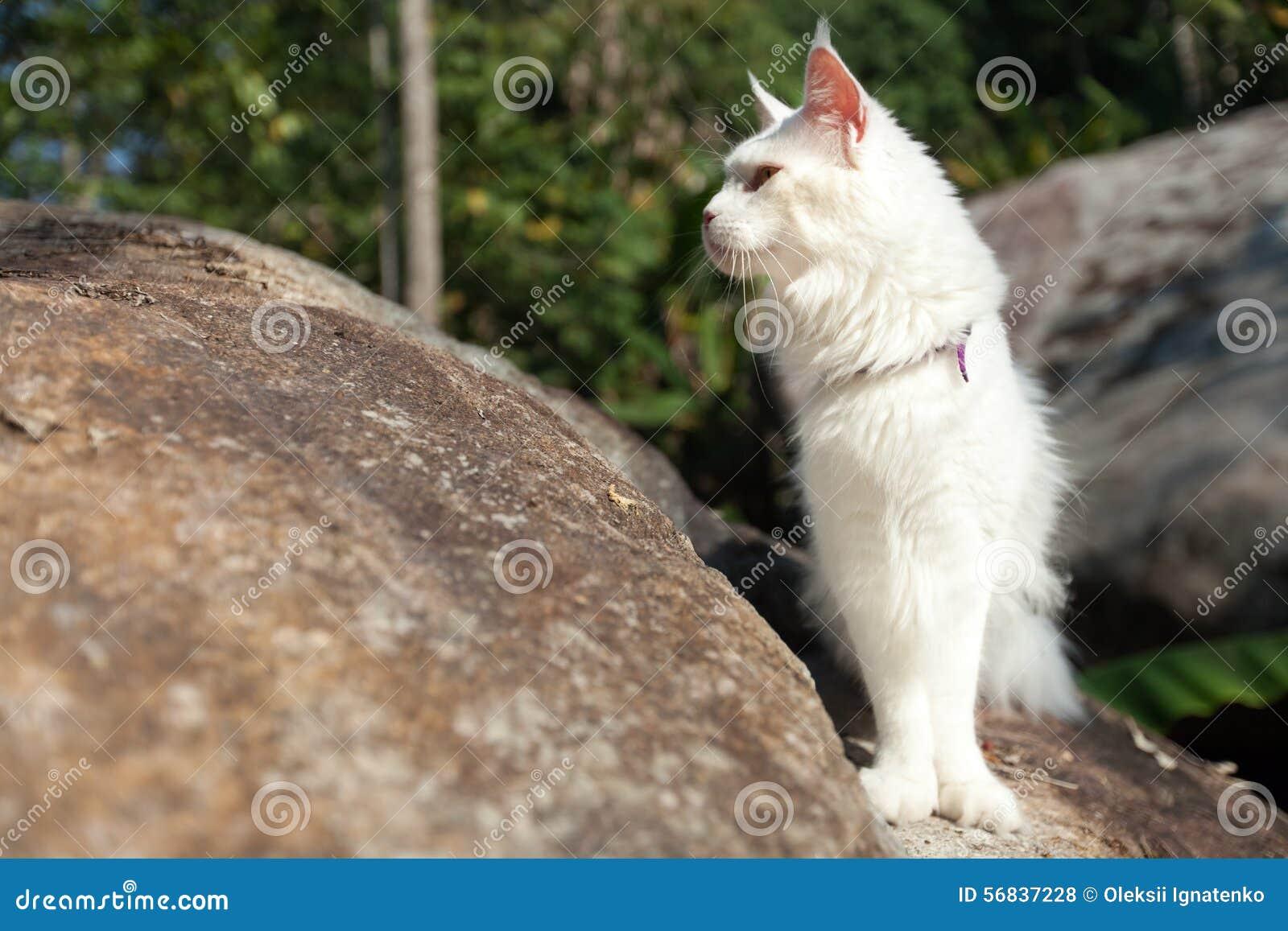 Biały Maine Coon Kot Na Skale Zdjęcie Stock Obraz Złożonej Z