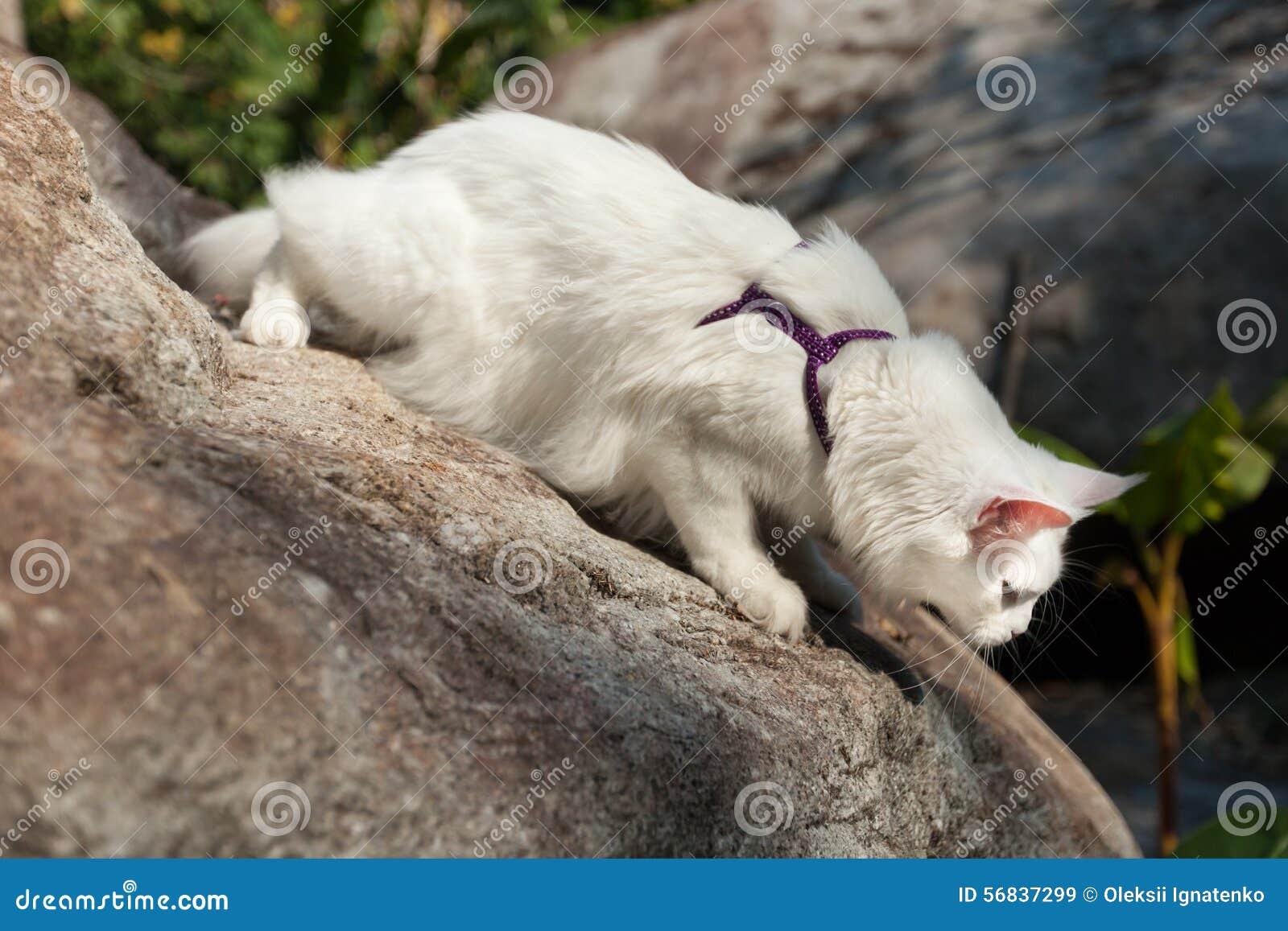 Biały Maine Coon Kot Na Skale Obraz Stock Obraz Złożonej Z