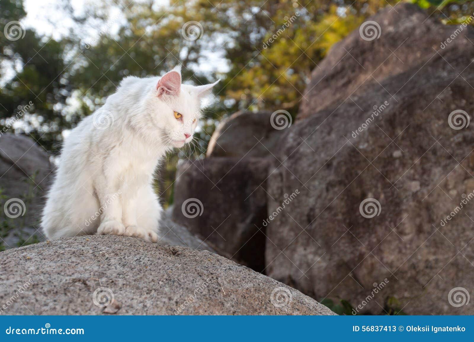 Biały Maine Coon Kot Na Skale Obraz Stock Obraz Złożonej Z Uroczy