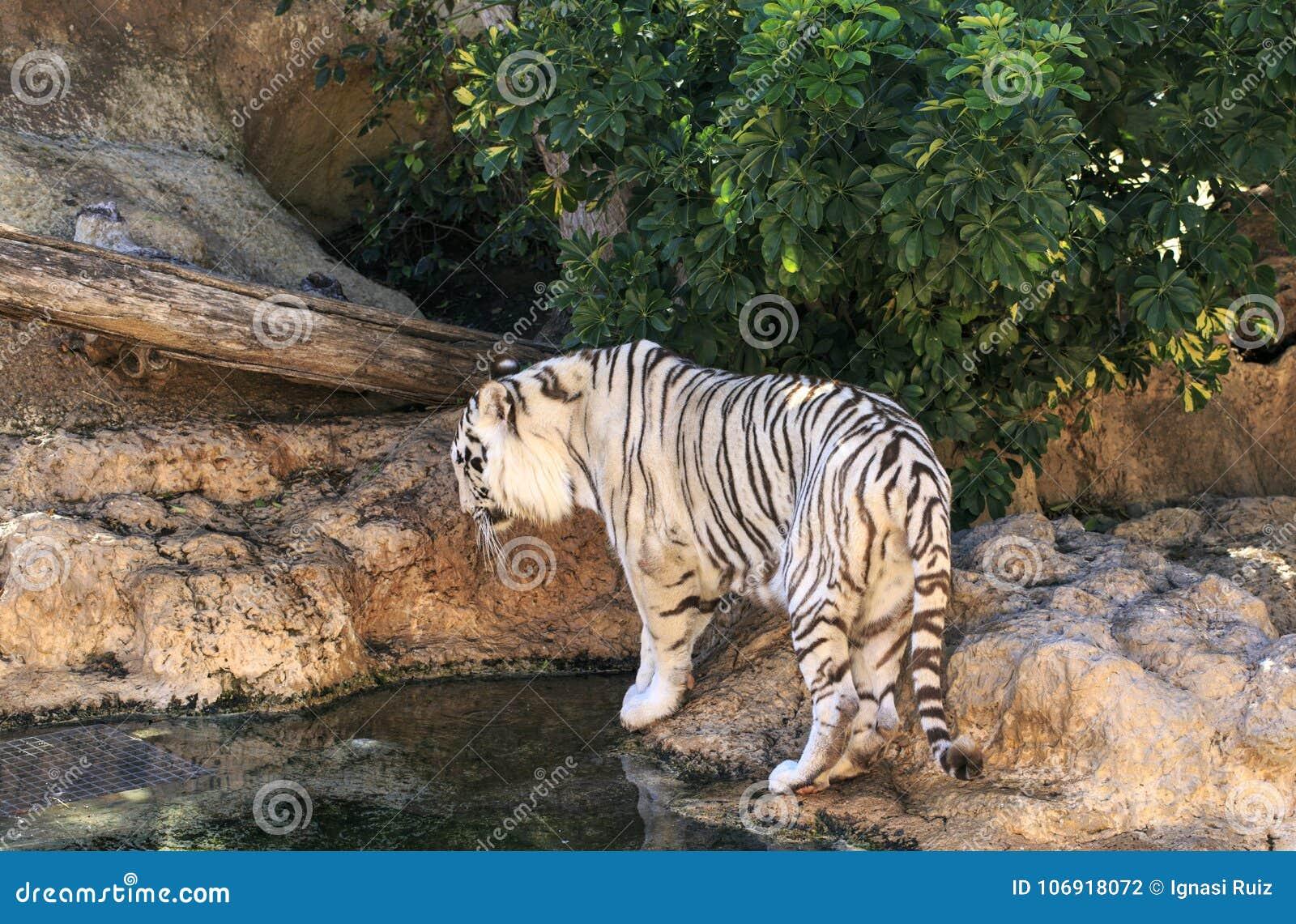 Biały tygrys w zoo Hiszpania