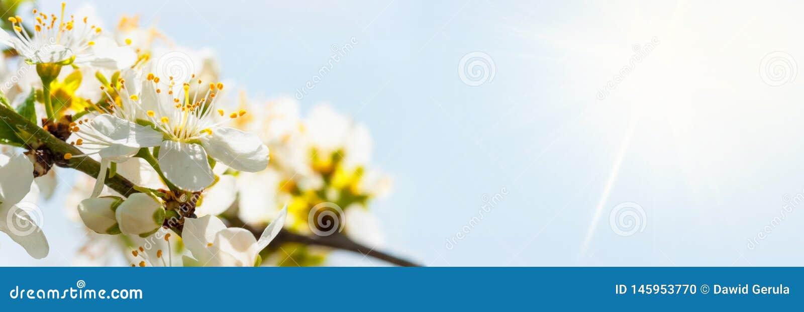 Bia?y wiosny drzewo, kwitnie kwiaty, szeroki k?t Kwietni biali kwiaty horyzontalni z dodatkow? przestrzeni? obok g??wnego przedmi