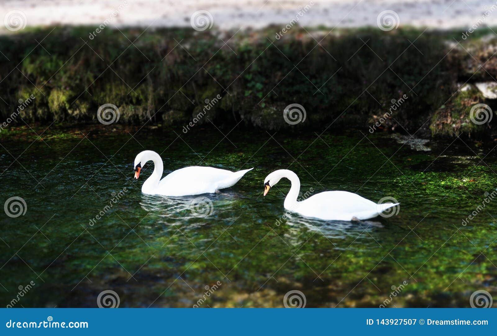 Biali łabędź w jeziorze