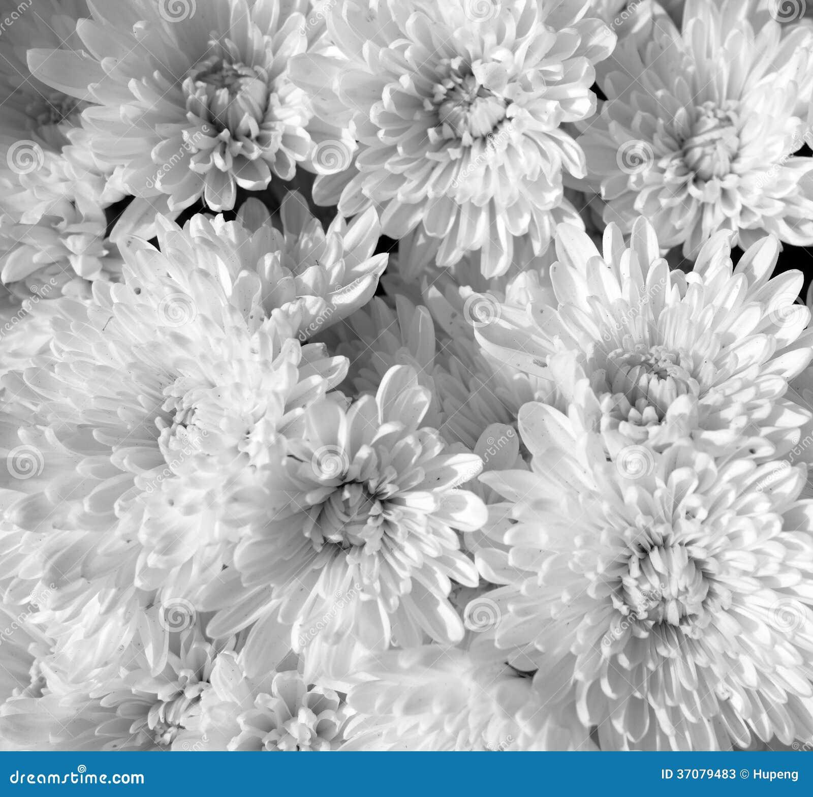 Download Biali chryzantema kwiaty obraz stock. Obraz złożonej z target172 - 37079483