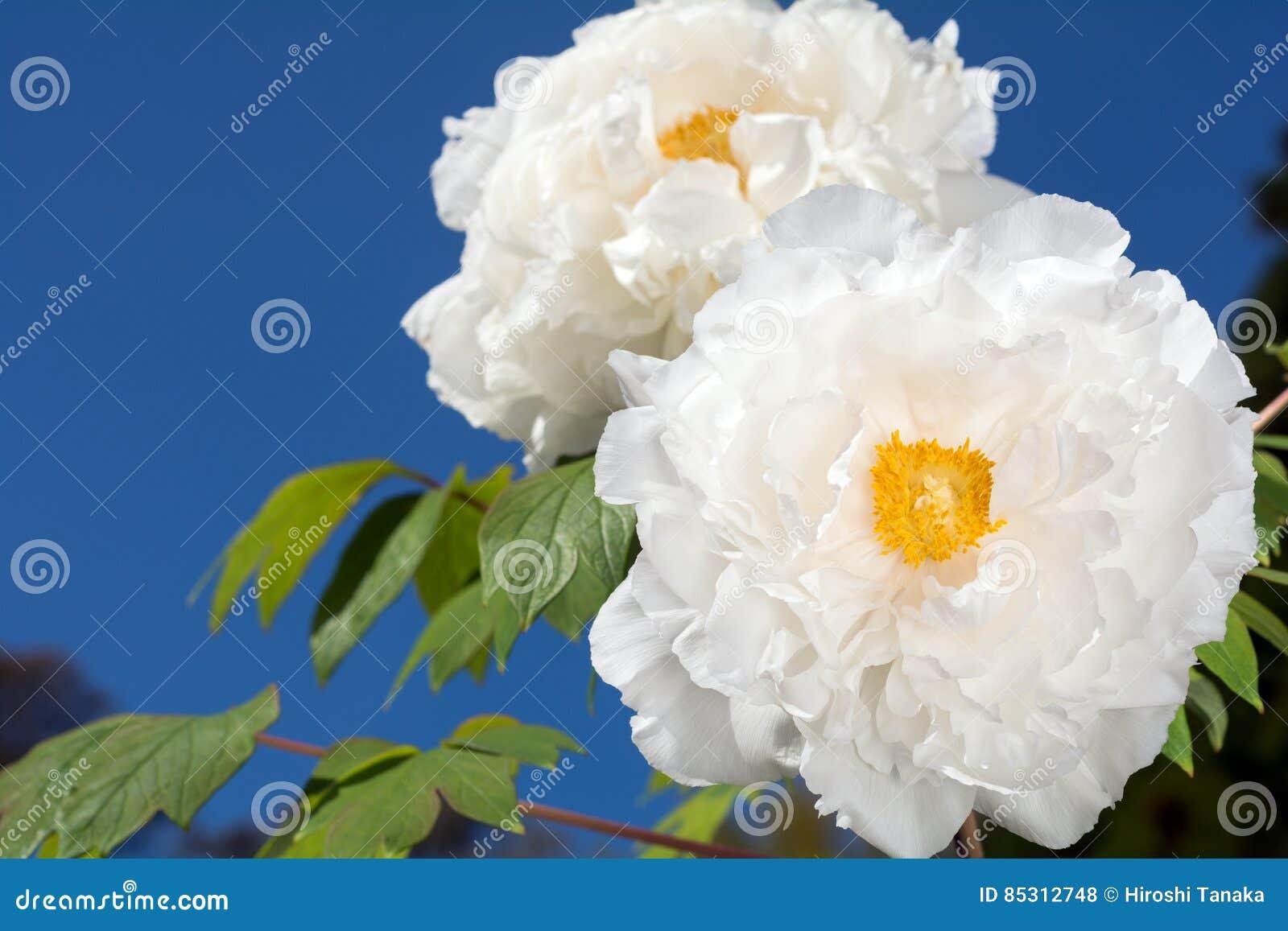 Biali drzewni peonia kwiaty