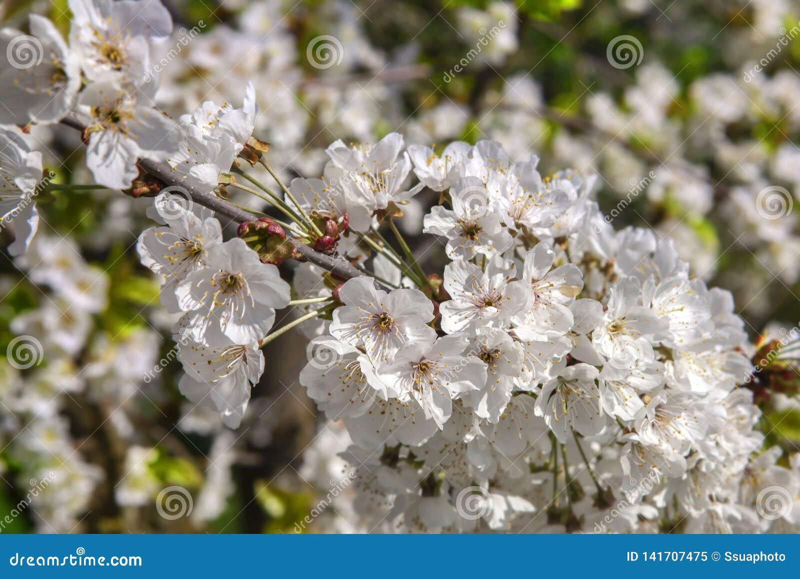 Biali florets wiśnia