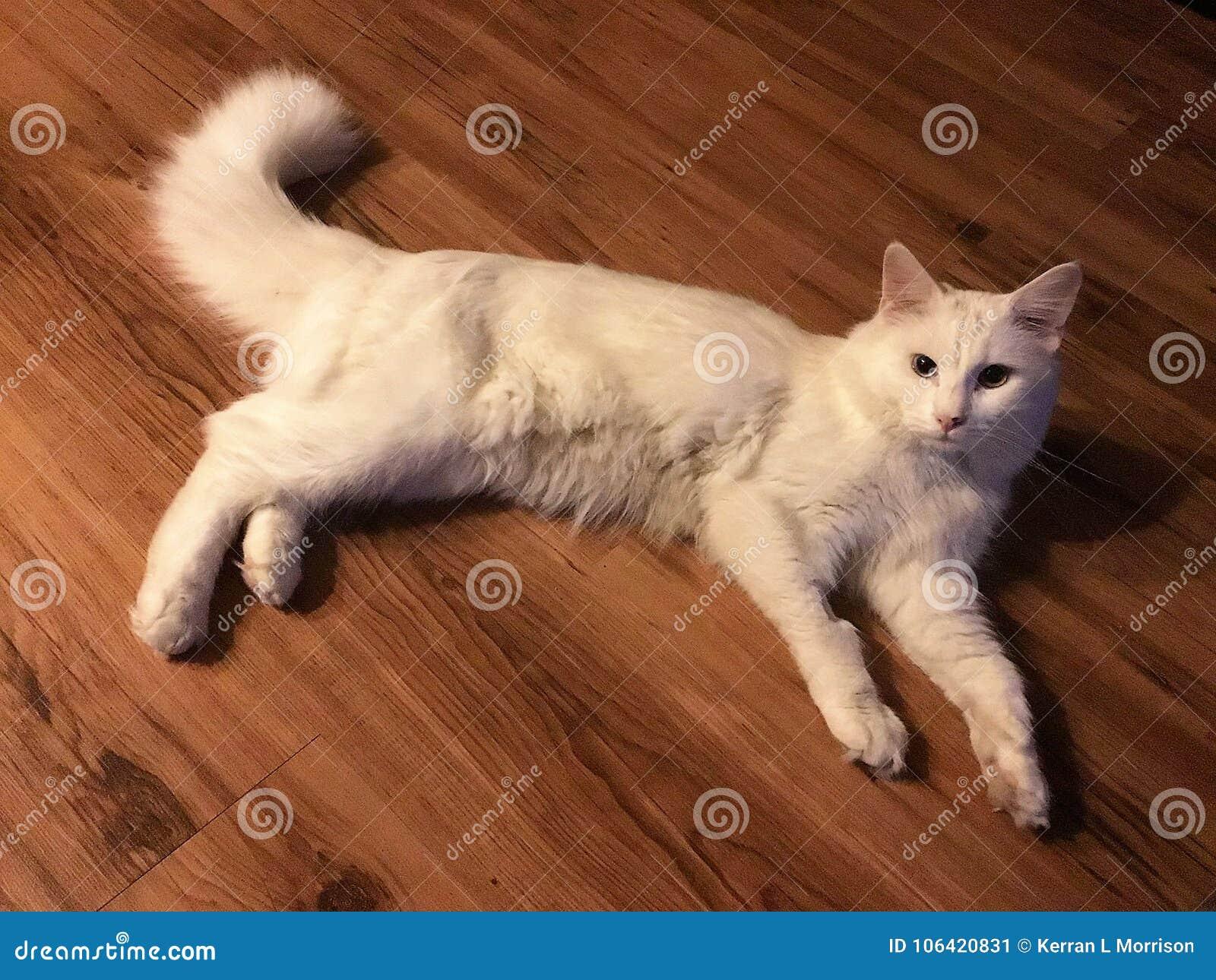 Biali 2 kota coloured oczy