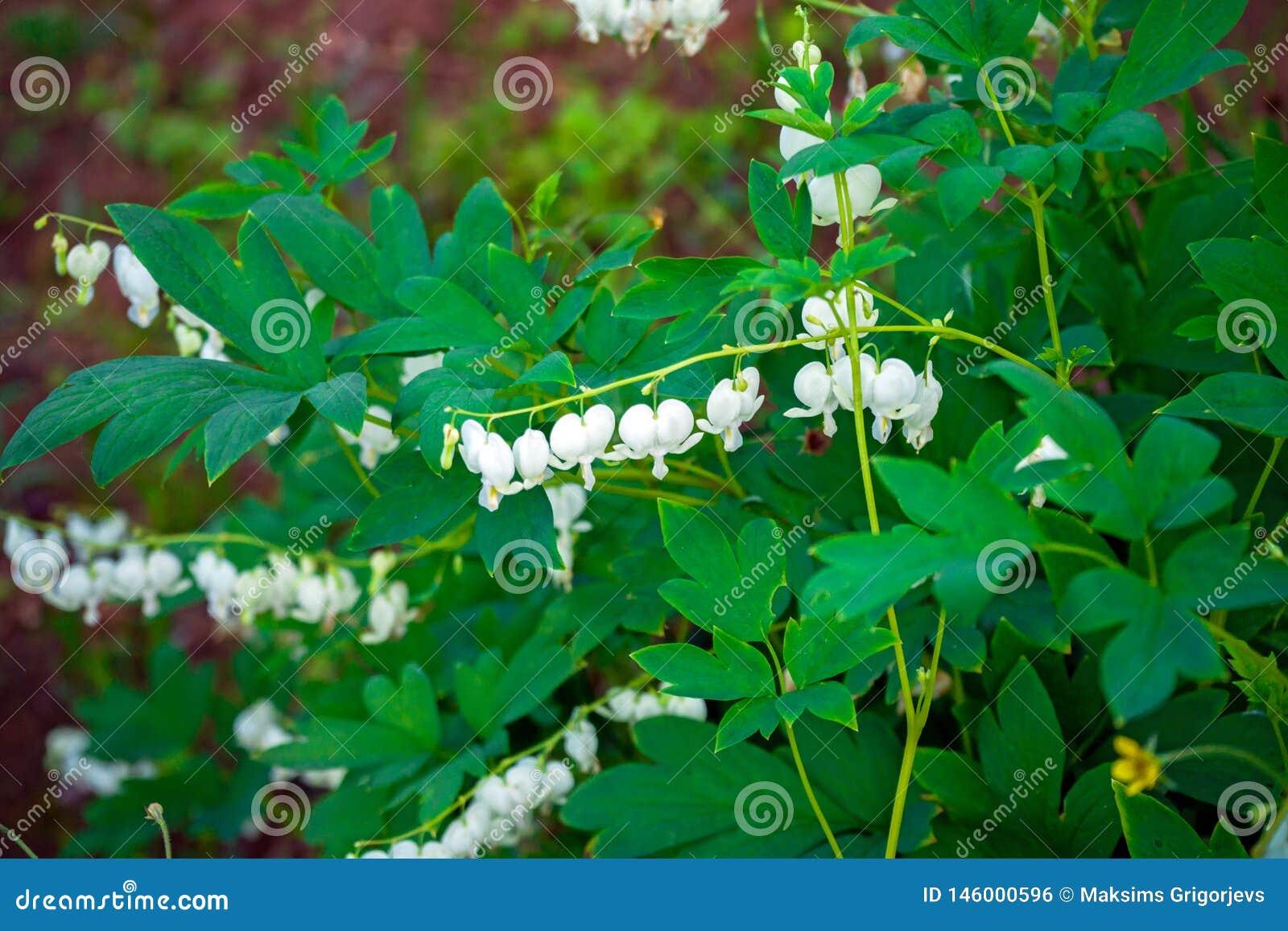 Biali krwawi?cego serca kwiat?w Dicentra spectabilis Alba w wio?nie uprawiaj? ogr?dek