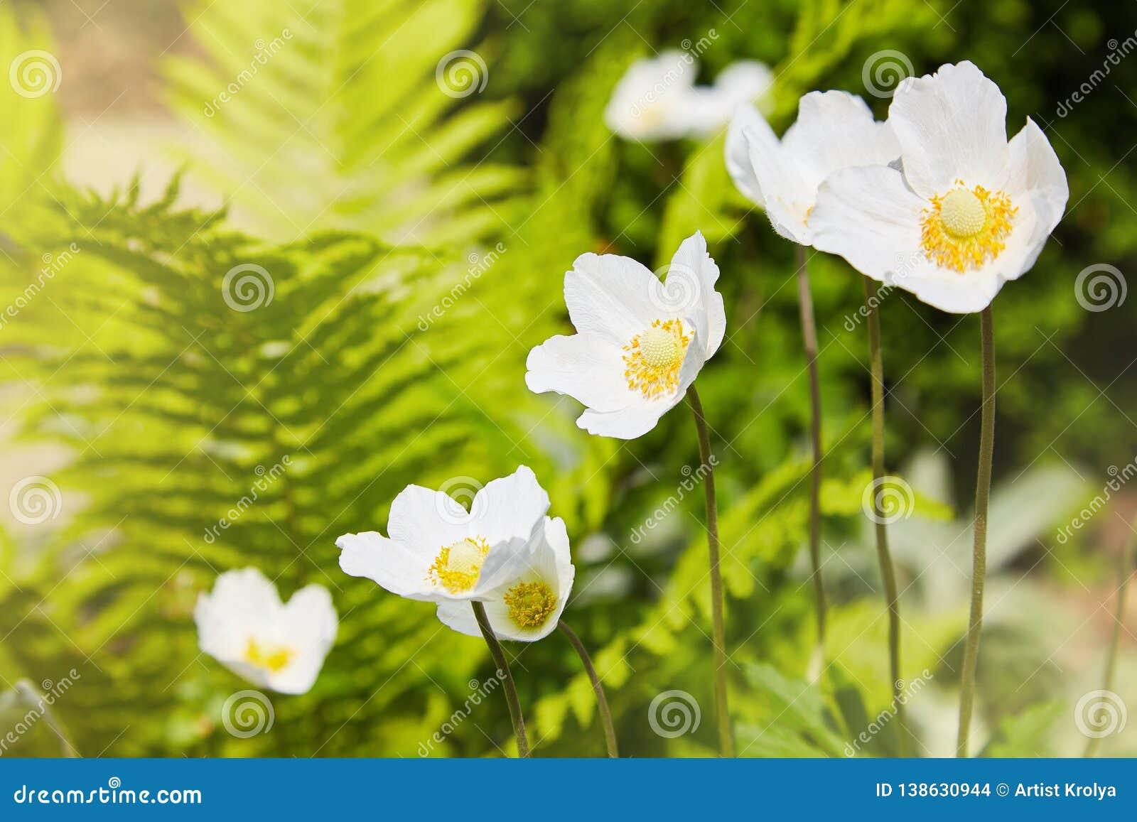 Biali kwiaty Anemonowy sylvestris śnieżyczki anemon