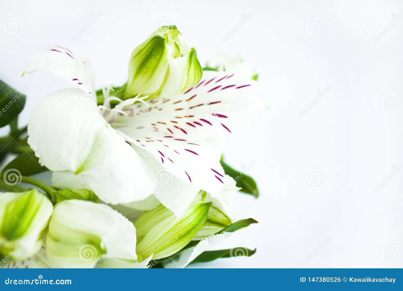 Biali kwiaty, bukiet alstroemeria kwitn?, Peruwia?skie leluje Bia?y t?o, kopii przestrze?