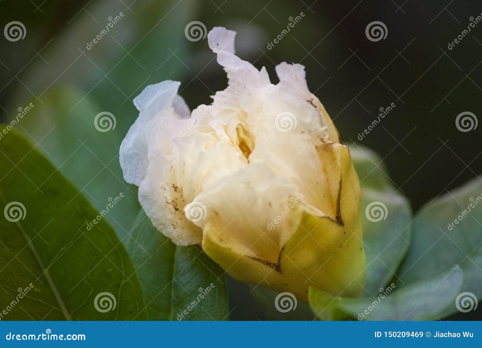 Biali kwiaty, półprzezroczyści biali kwiaty, hd kwitną