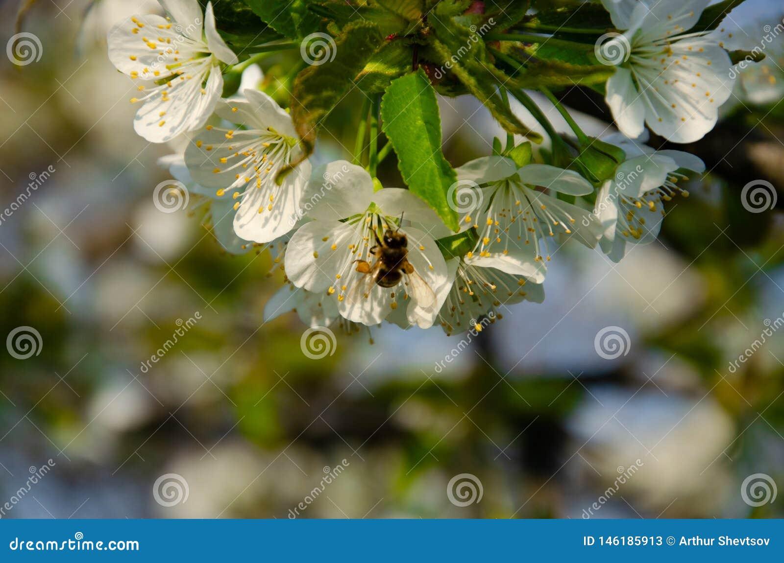 Biali kwiaty w makro- Kwiatono?ni drzewa Pszczo?a na bia?ym kwiacie