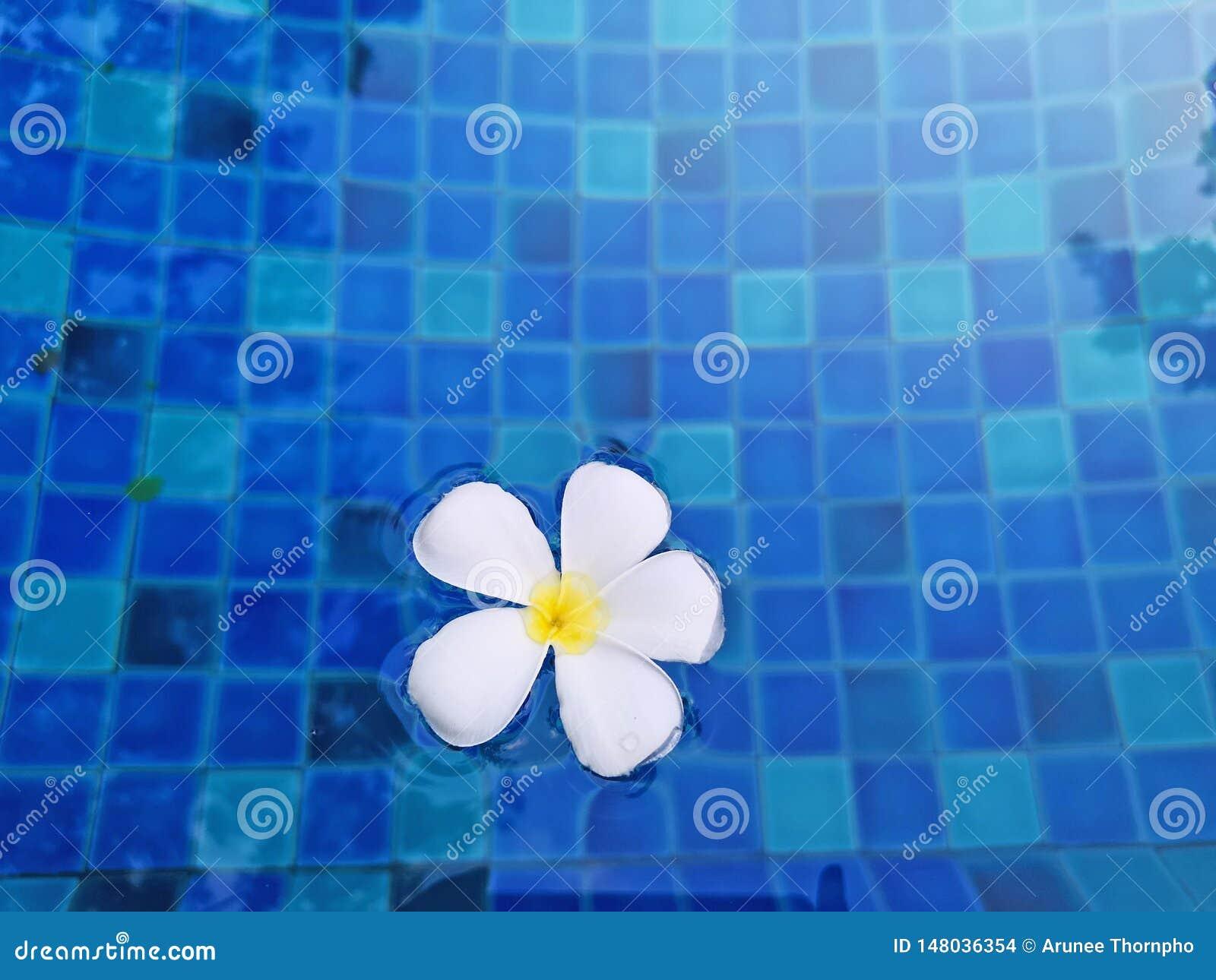Biali p?atki fragrant ?wi?tynnego drzewa kwiatu ro?lina na macha? ?yw? turkusow? b??kitne wody w basenie