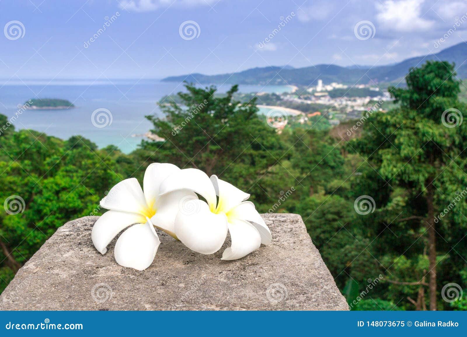 Biali plumeria kwiaty są z panoramicznym widokiem Tajlandia Frangipani zako?czenie Dwa pięknego białego kwiatu
