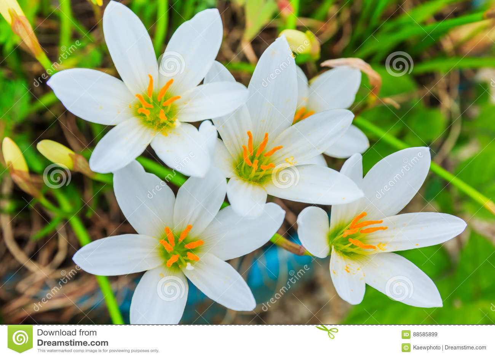 Biali zephyranthes kwiaty Podeszczowa leluja