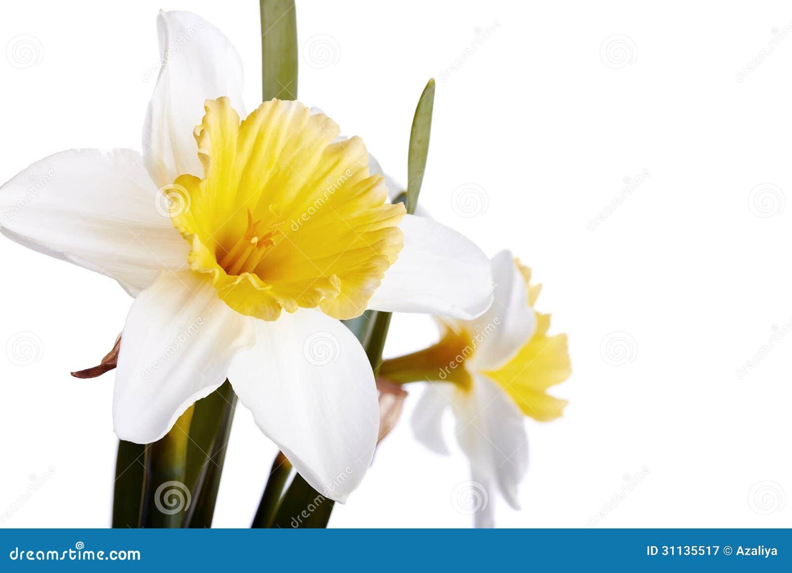 Bianco con giallo un narciso su un fondo bianco for Narciso giallo