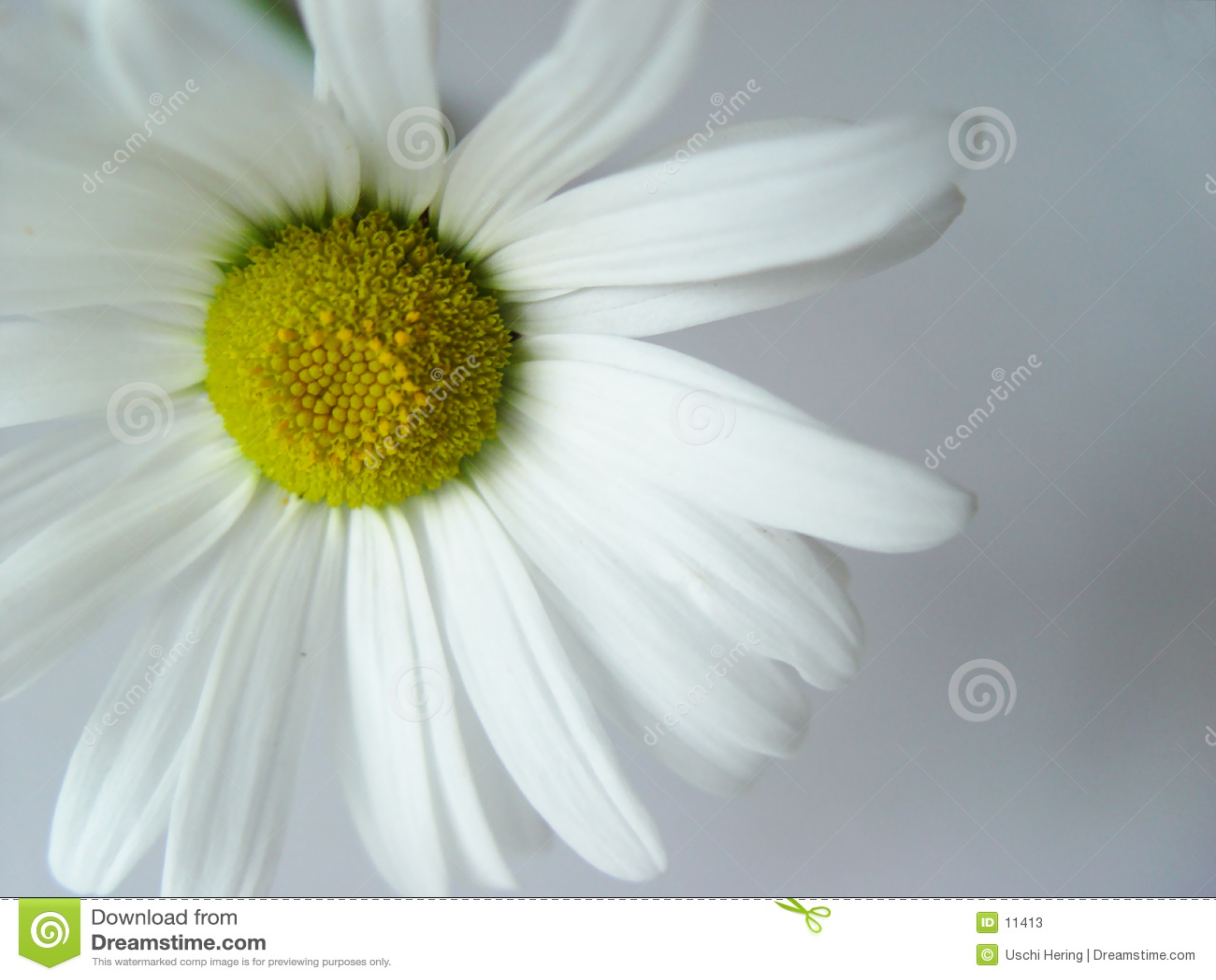 Bianco della margherita di estate