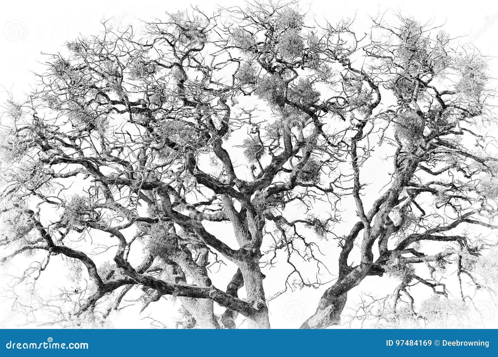 In bianco e nero di una quercia